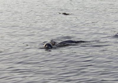 Seal swimming in Findhorn Bay