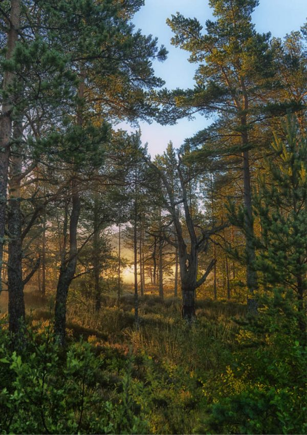 Dawn in the forest, Cairngorm National Park